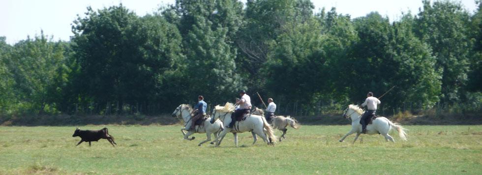 Photo de gardians poursuivant un taureau au pré du Cailar pendant la fête votive.